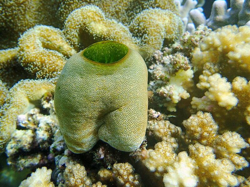 Didemnum molle   (ходячие штанишки ;))