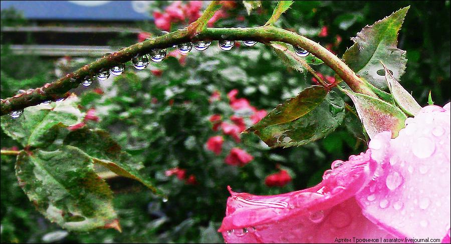 Капли дождя на розе
