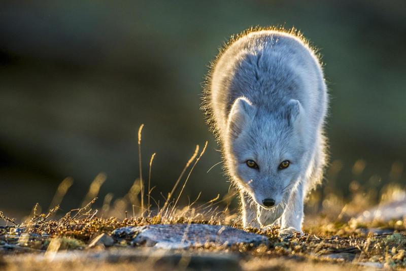 17. Горная лисица в солнечных лучах
