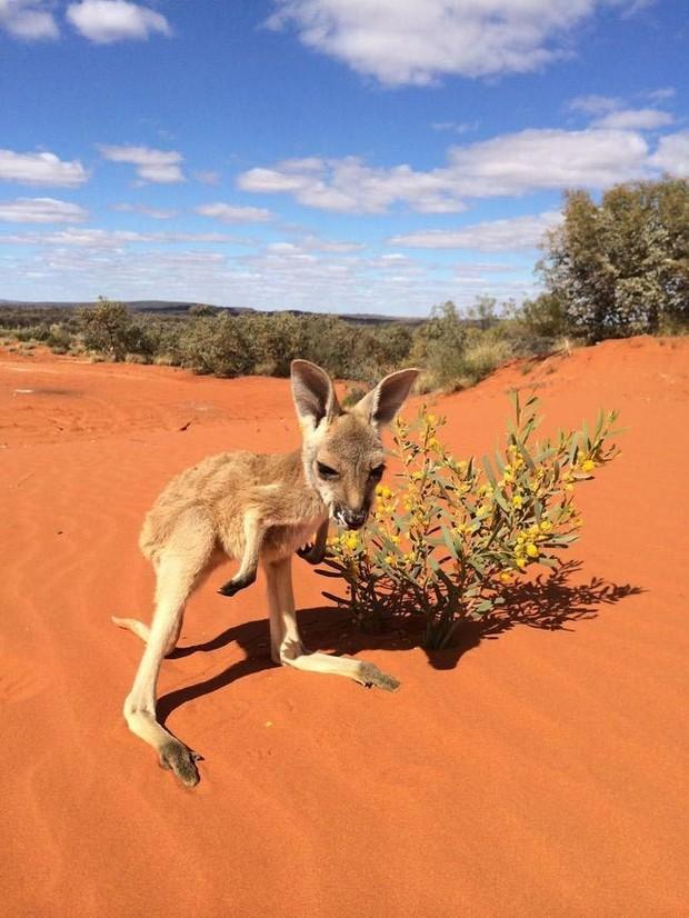 14. Он пытается сохранить кустарники и прочую растительность нетронутыми, чтобы у маленьких кенгуру