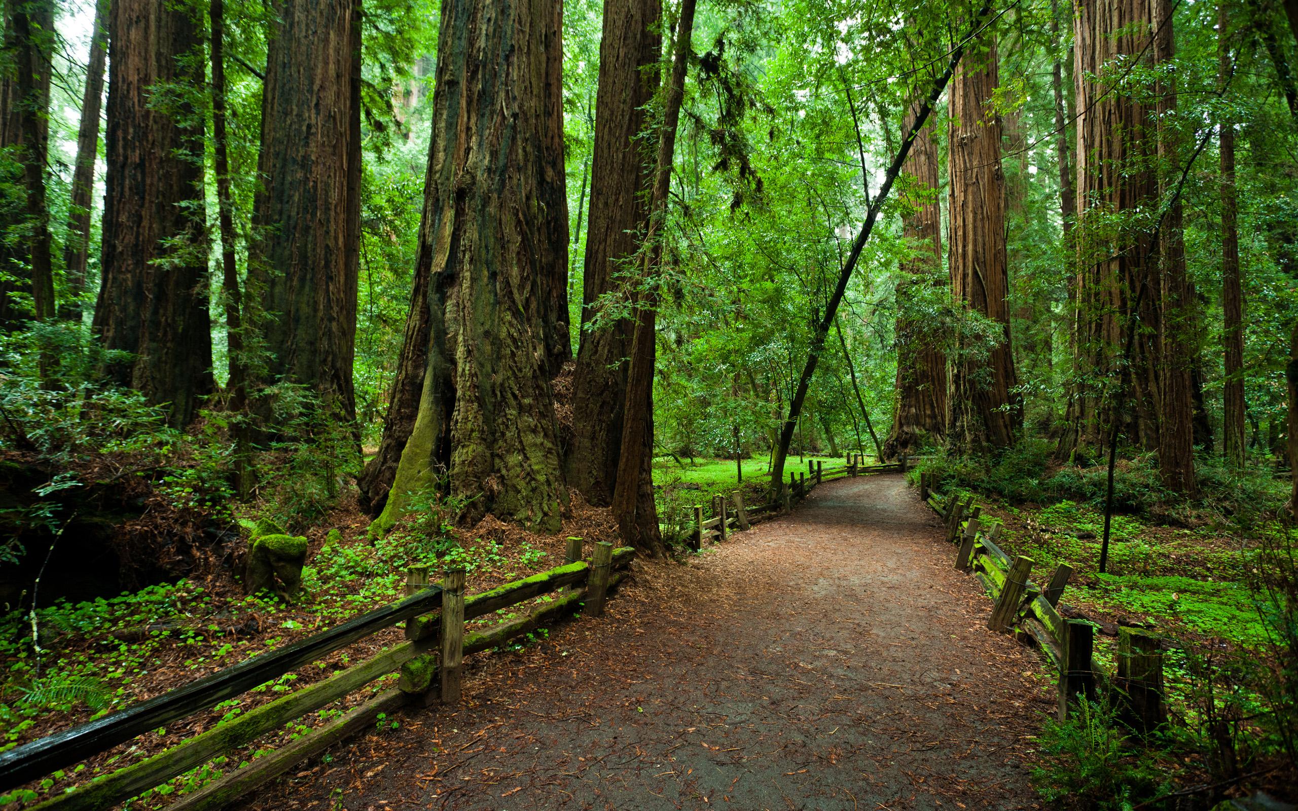 Лес «Редвуд» в Северной Калифорнии — это место, где растут самые высокие деревья на планете, что обе