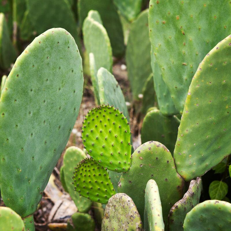 Sabra cactus green leaves