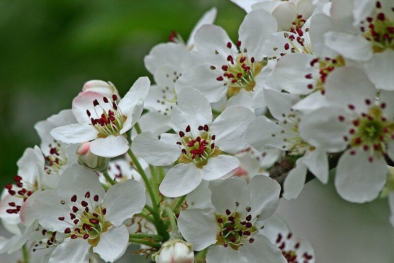 Груша цветёт...