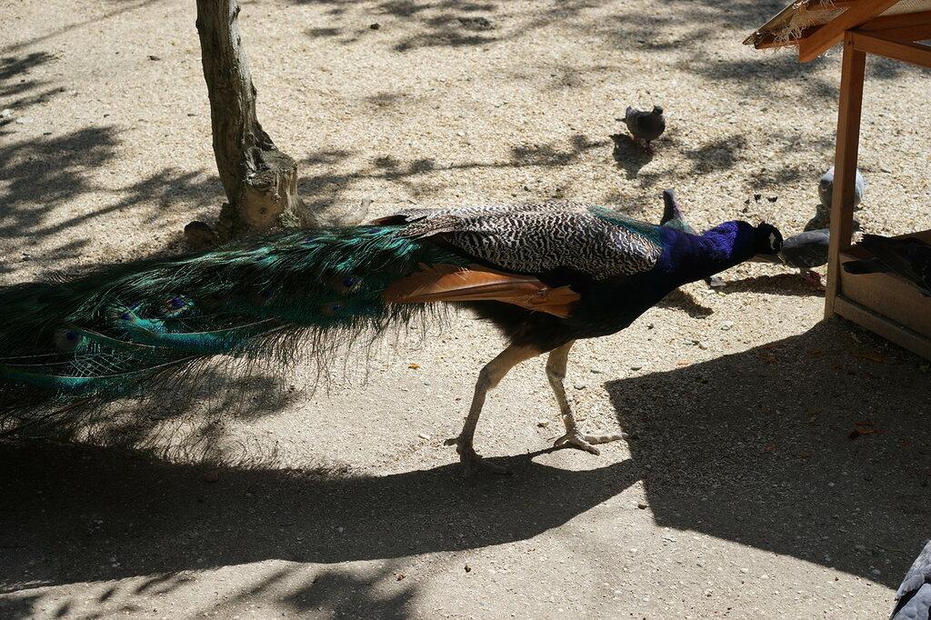 Павлин в зоопарке. Сафари-парк, Геленджик.