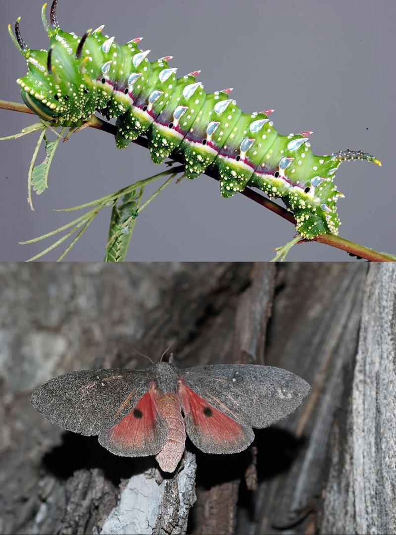 Махаон Спицбух (Papilio troilus)
