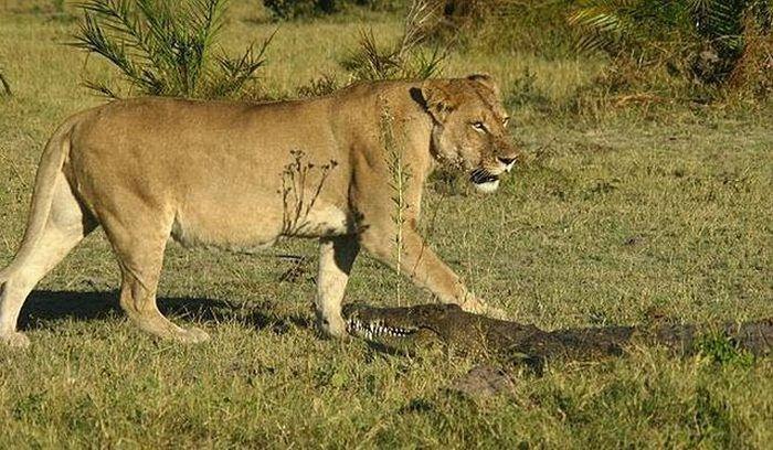 Львицы со своими детишками пошли на водопой, а тут крокодилы. Вот крокодил и решил перекусить львенк