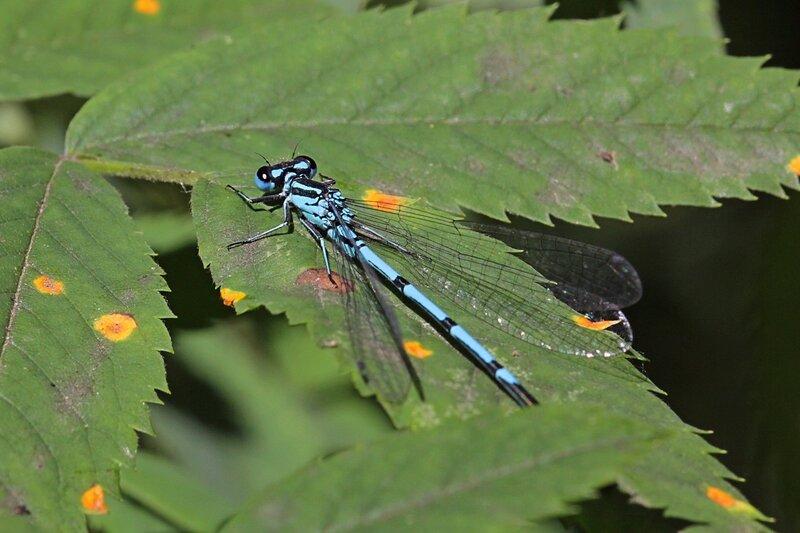 Стрекоза стрелка-девушка (Coenagrion puella), самец голубого цвета с большими выпуклыми глазами на листке