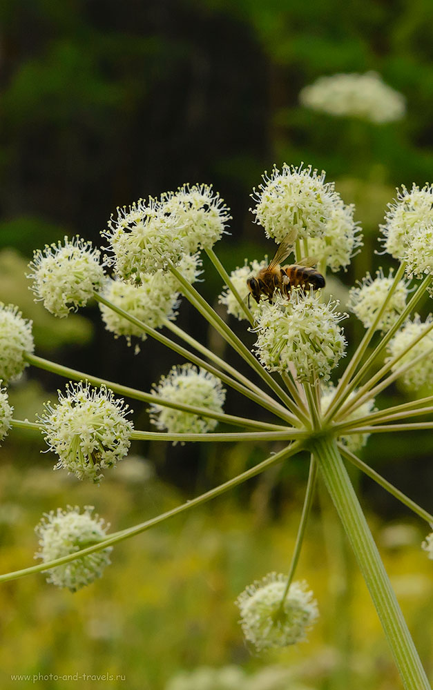 Фото 32. Самый трудолюбивый представитель отряда стебельчатобрюхих на цветке в парке «Оленьи ручьи». 1/160, 18.0, 2500, 70.