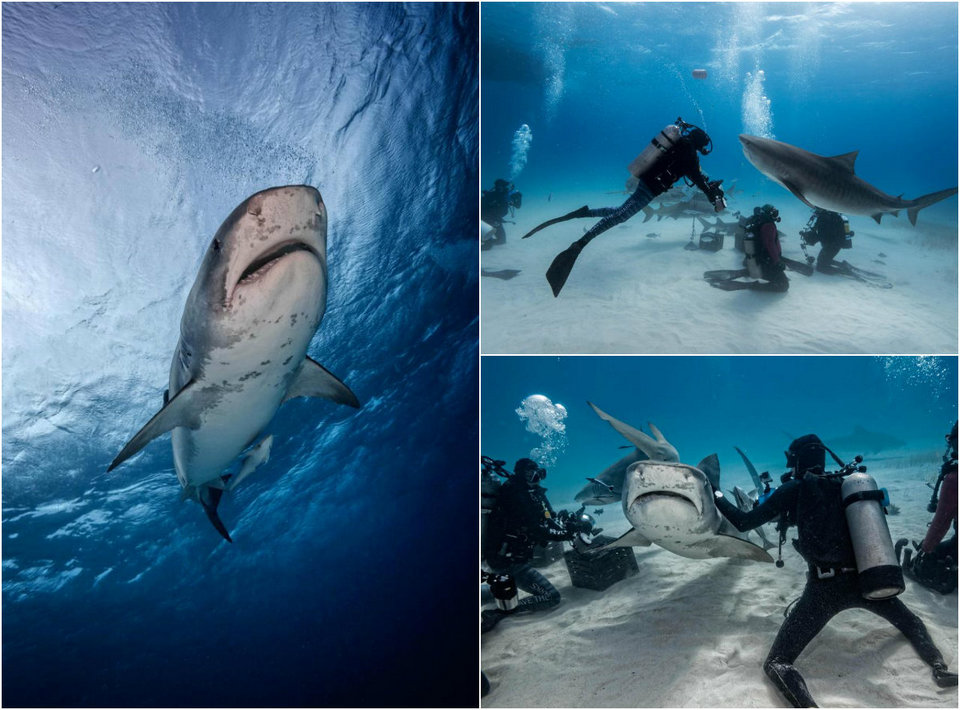 Incredible shots of divers with four-meter sharks