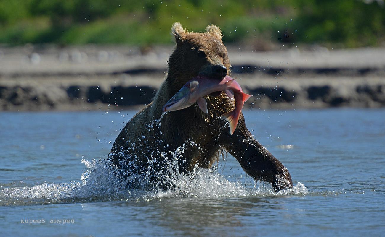 Медведи.