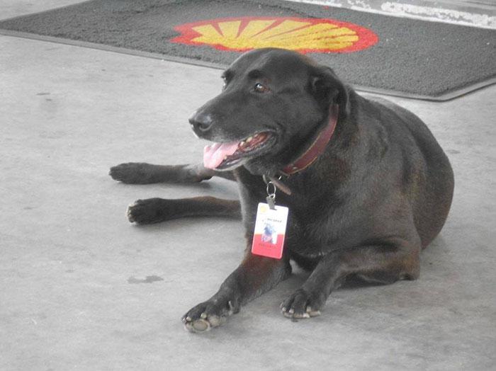 Причем пес оказался отличным работником, добрым и приветливым.