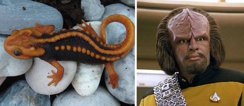 2. Tylototriton anguliceps, или клингонский тритон, обнаруженный в Таиланде, своим внешним видом нап