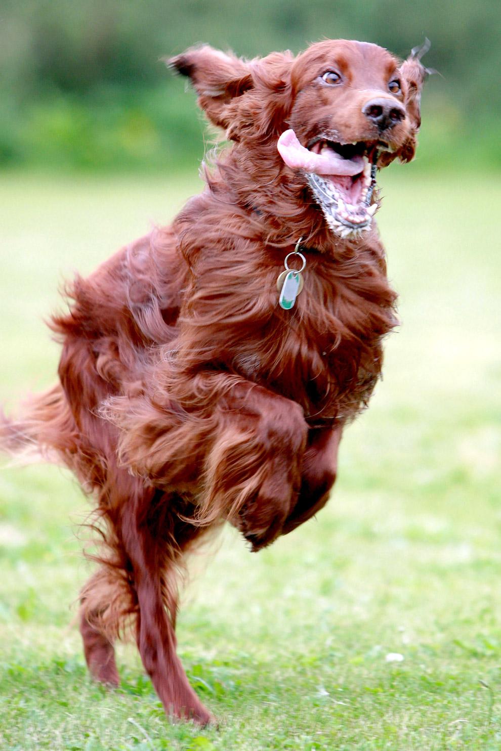 3. Пули — одна из самых распространённых пастушьих собак Венгрии. Внешне напоминает уменьшенную