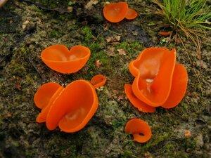 Алеврия оранжевая (Aleuria aurantia)