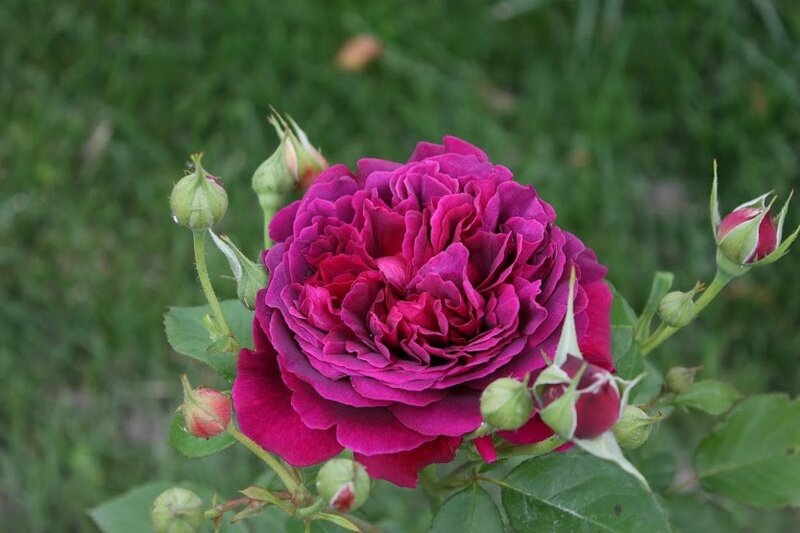 """William Shakespeare 2000"". Розы, которые мне хочется!"