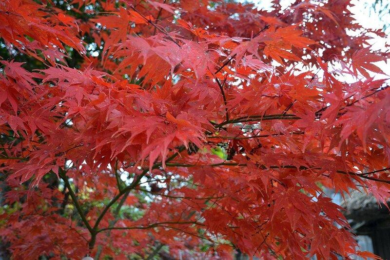 Красные клены Японии