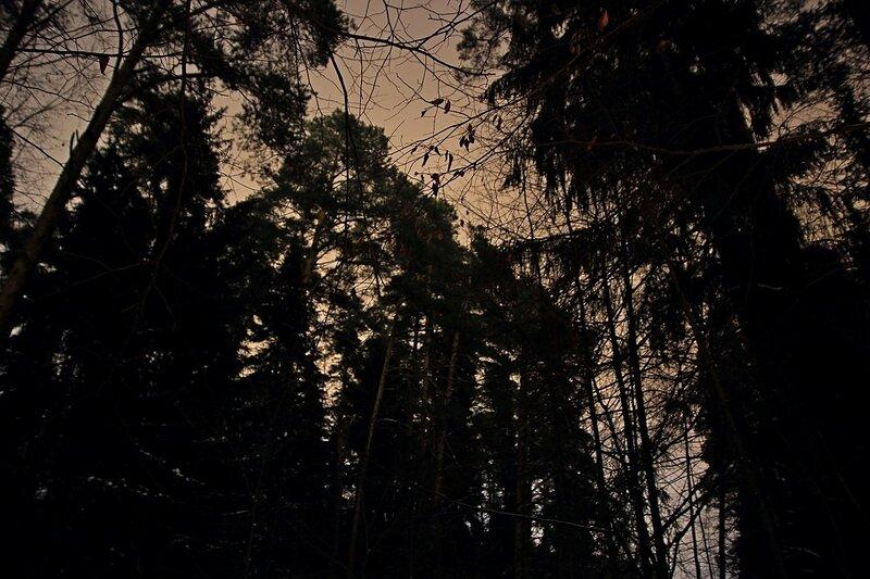 Вершины сосен на фоне тёмно-серого неба в ночном зимнем лесу