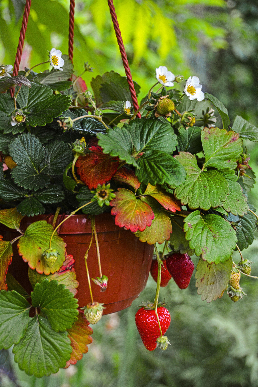 Клубника пахнет радостью и дарит лета вкус