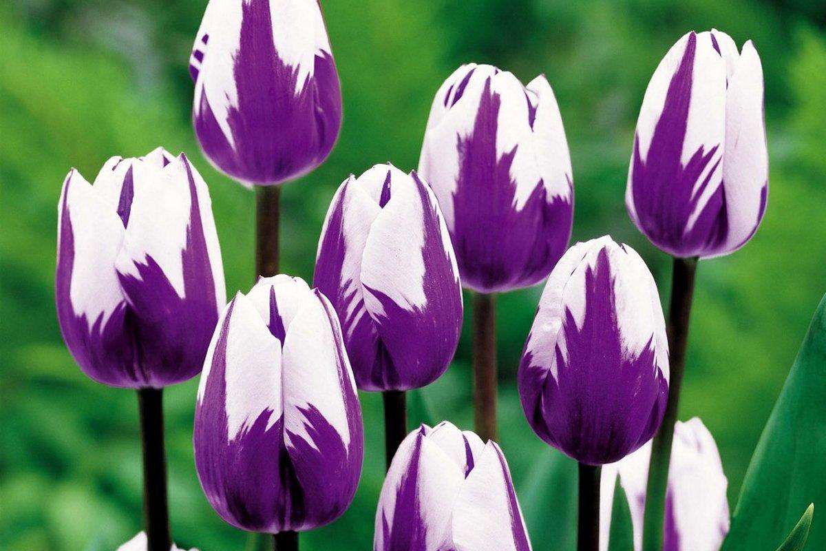 Красивые тюльпаны Zurel недорого