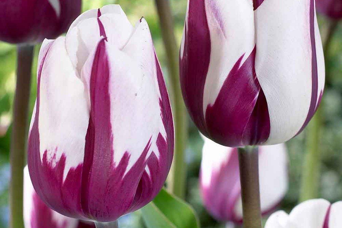 Купить тюльпаны Zurel онлайн