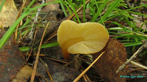 Спатулярия рыжая (Spathularia rufa) Автор фото: Кром Игорь