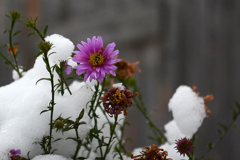 цветы в снегу 1.jpg