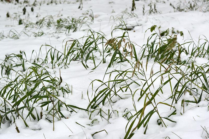 цветы в снегу 7.jpg