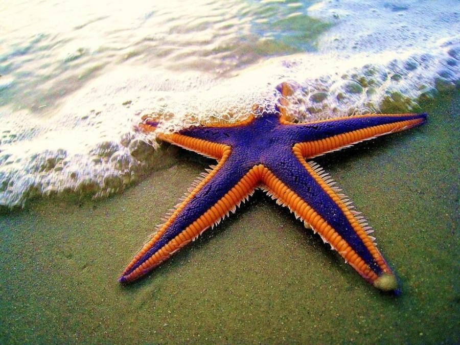 3. Присоски морской звезды То, что многие воспринимают как щупальца, на самом деле является руками м