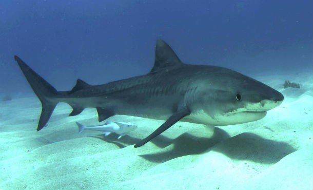 4. 22 место – Тигровая акула, PSI: 325 Этот морской обитатель считается одним из самых опасных хищни