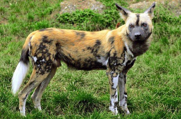 5. 21 место – Гиеновидная собака, PSI: 340 Хотя внешность этого животного немного неказиста, в плане