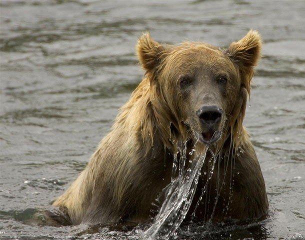 12. 14 место – Бурый медведь, PSI: 850 Бурый медведь обладает силой укуса, достигающей 850 PSI.