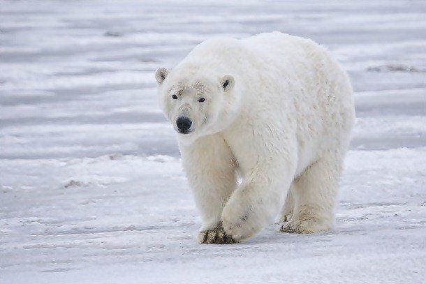 18. 8 место – Белый медведь, PSI: 1235 Эти одни из самых сильных и выносливых млекопитающих на плане