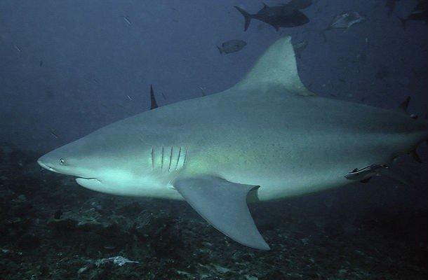 20. 6 место – Тупорылая акула, PSI: 1250 Этот вид рыб обладает самым сильным укусом среди всех рыб.