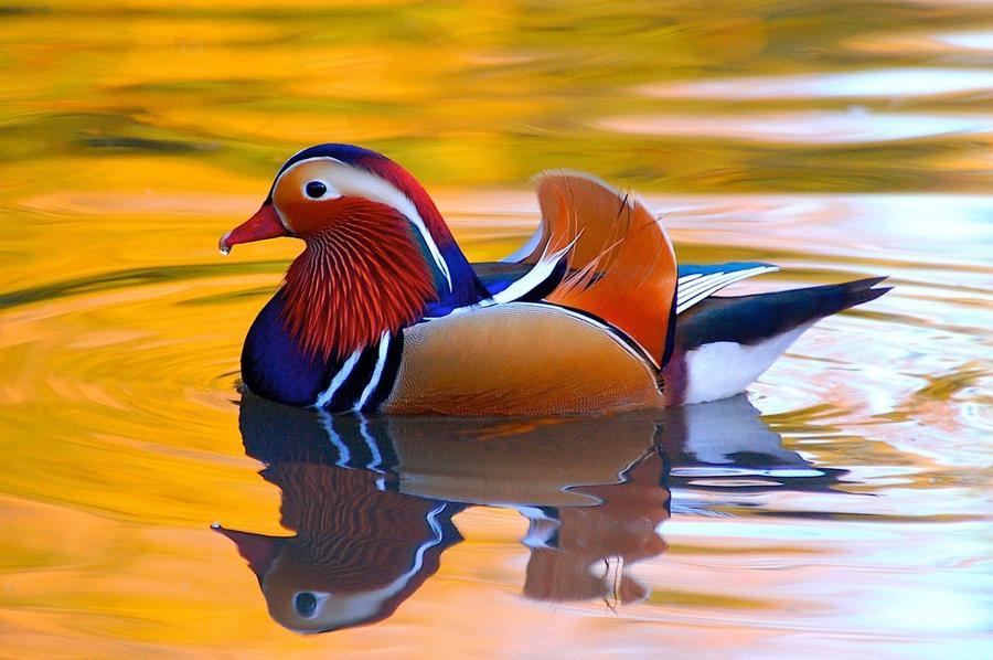 7. Обычно мандаринка — весьма молчаливая утка, но весной, во время размножения, непрерывно крякает,