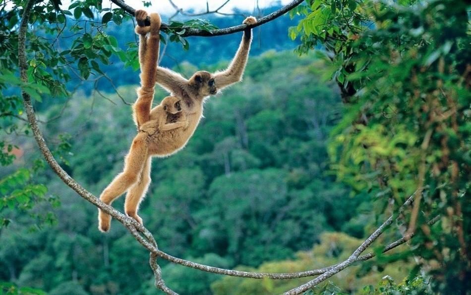 Численность этого вида обезьян, обитающих в тропических лесах на северо-востоке Бразилии, менее 1000