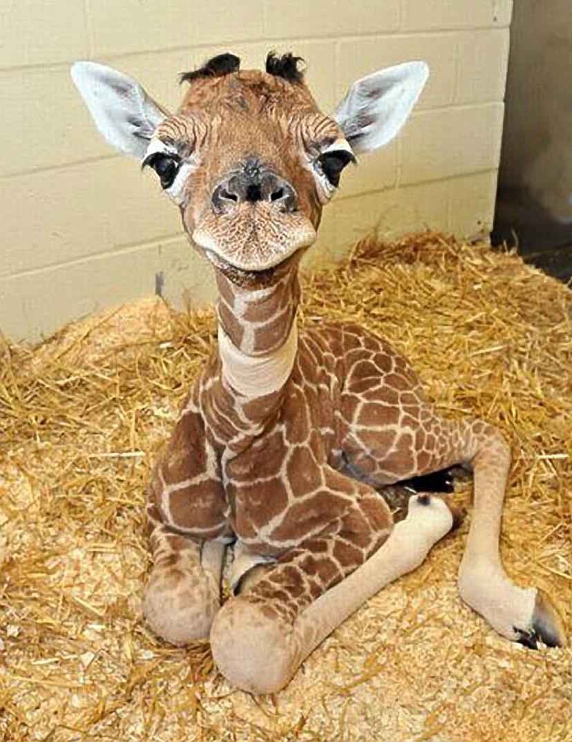 3. Путь новорожденного жирафа в этой жизни начинается с двухметрового падения, самки рожают стоя. На