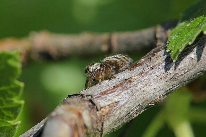 паук-скакунчик: вид сбоку
