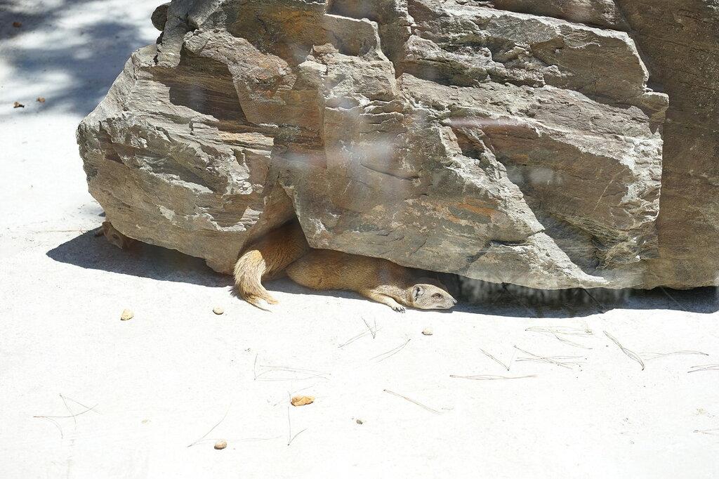 Мангусты под камнем в зоопарке. Сафари-парк, Геленджик.