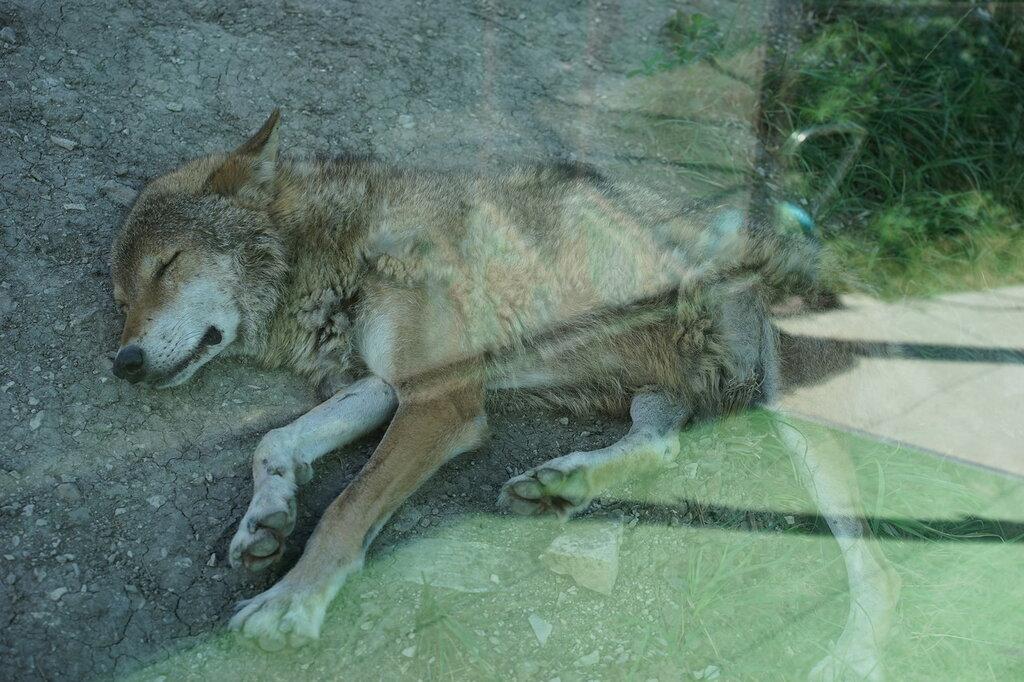 Волк в зоопарке. Сафари-парк, Геленджик.