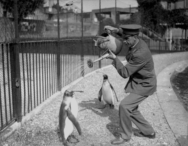 Работник зоопарка поливает пингвина из лейки, 1930 год.