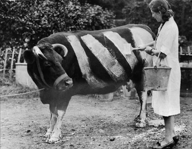 Фермер красит корову, чтобы та не попала под машину, Великобритания, 1939 год.