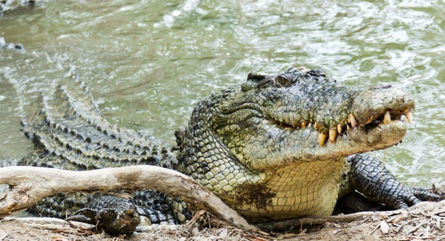 4. Морской крокодил Гораздо более опасным представителем животного мира, нежели акулы, являются крок