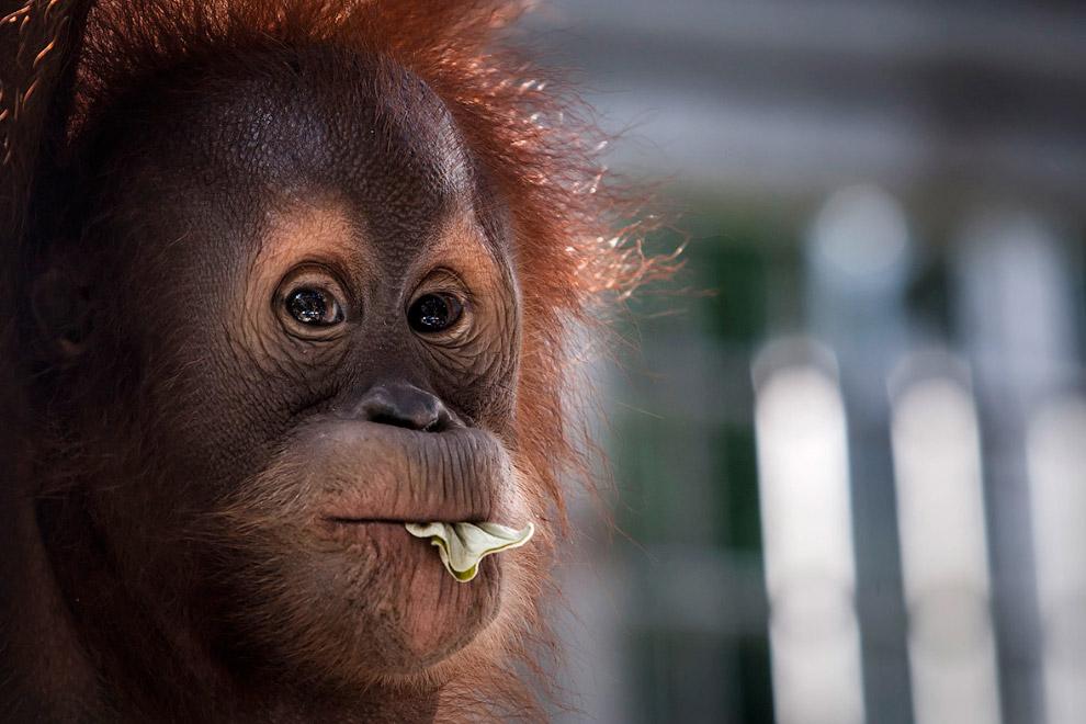 12. В редких случаях, когда орангутаны всё же спускаются на землю, то передвигаются на всех четырёх