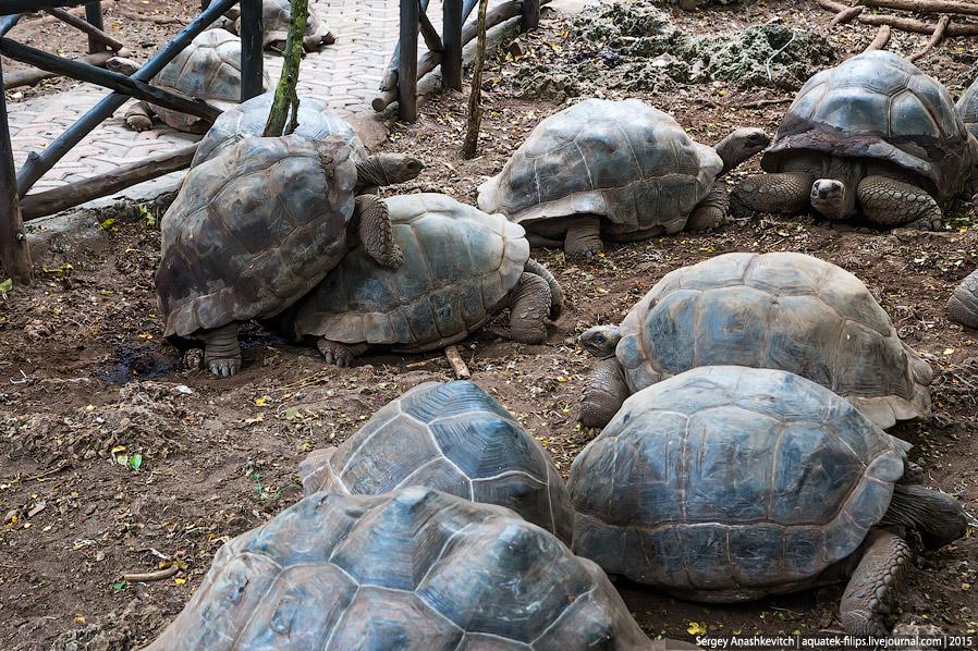 7. Остальные черепахи наблюдали за шоу, улегшись и положив голову на лапы. Попкорна я не замети