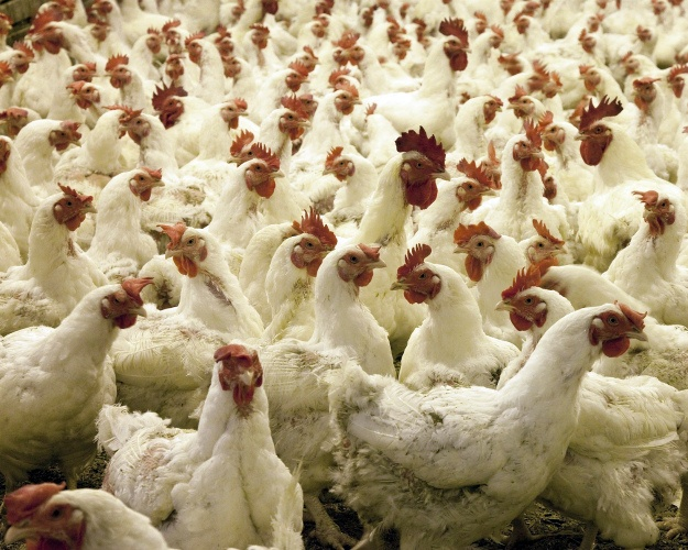 ВНижегородской области зафиксирована вспышка птичьего гриппа