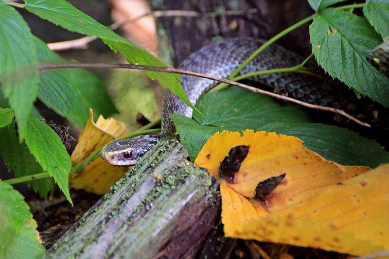 Обыкновенная гадюка (Vipera berus) серого цвета с черным узором притаилась среди поросших лишайником деревяшек и осенних листьев на Змеиной поляне заповедника «Нургуш»