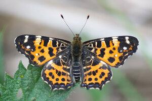 s:дневные бабочки,c:желтовато-коричневые