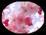 LF-MistedBlossom-08032014.png