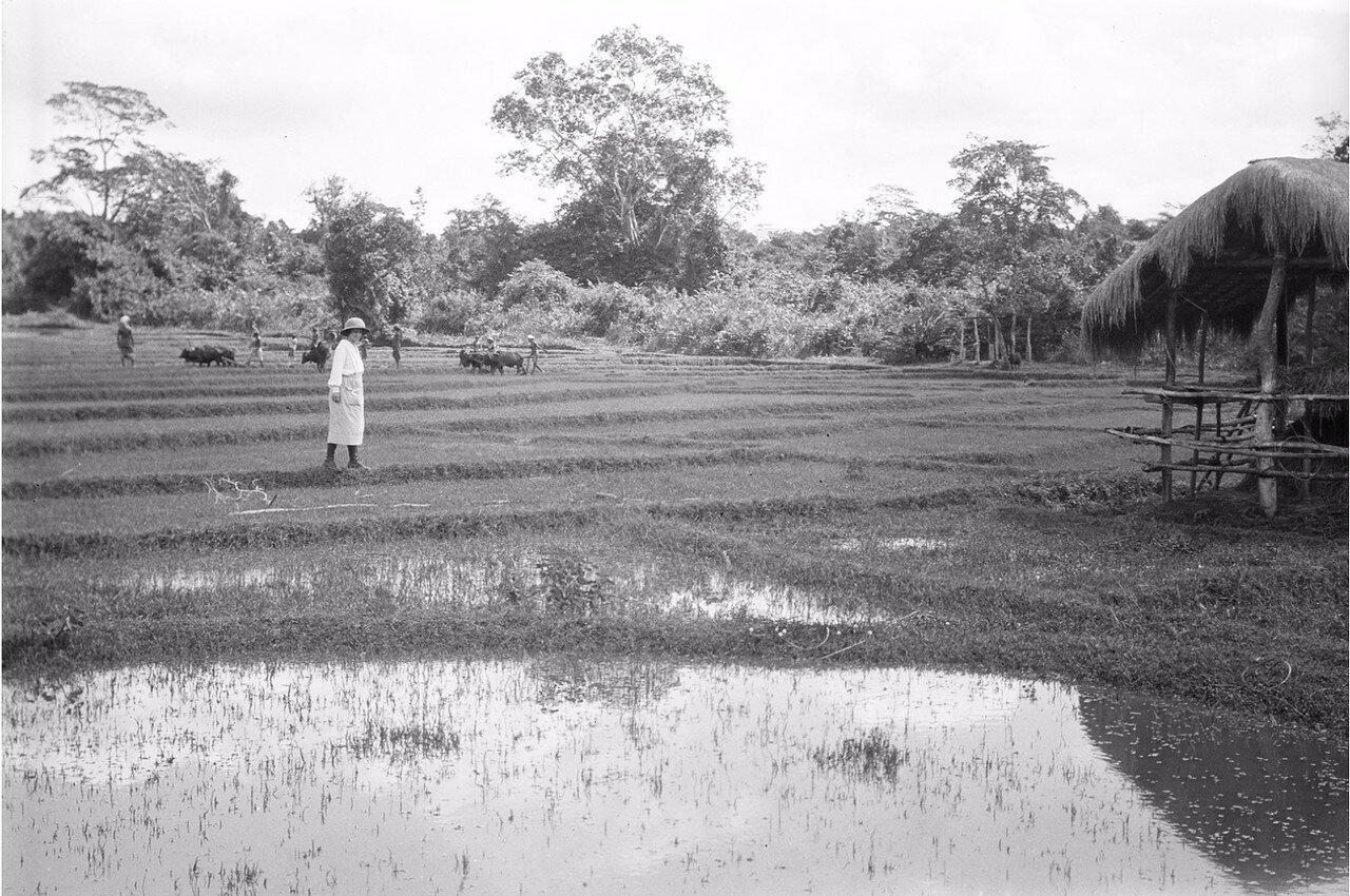 59. Супруга Эгона фон Эйкштедта на рисовом поле в Моландени