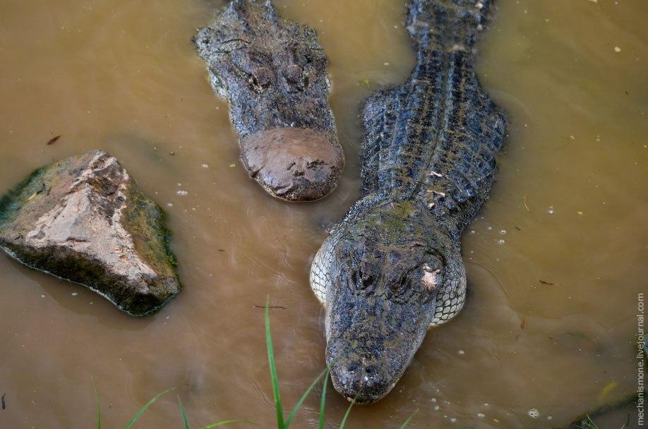 Размножаются аллигаторы летом, самцы